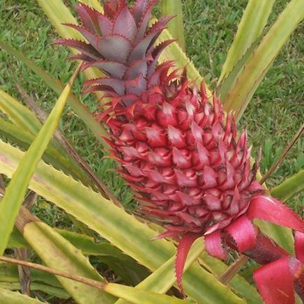 Actif naturel Ananas