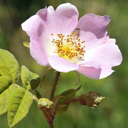 rosier muscat