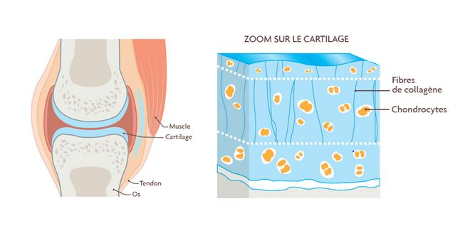 Role du cartilage
