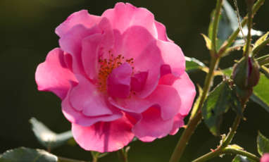 La rose et ses bienfaits en cosmétique